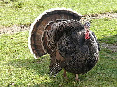 black turkey on green grass