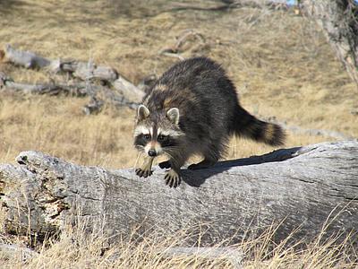brown and black raccoon on gray wood log