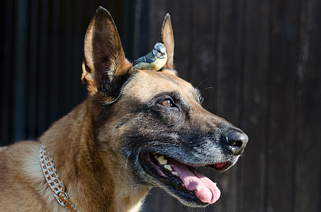 adult brown Belgian malinois with black and yellow bird on head