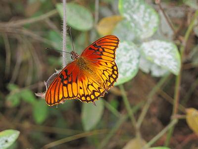gulf fritillary butterfly on green leaf plant