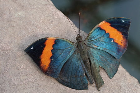 selective focus photography of blue, orange, and black butterfly perched on gray stone
