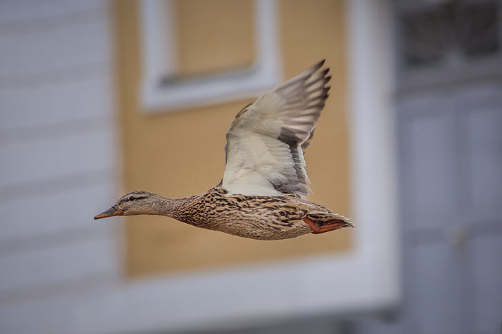 closeup photo of brown flying duck