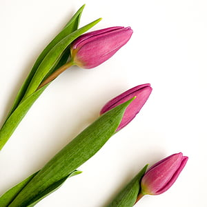 red tulip flower buds