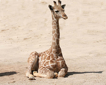 photo of brown giraffe on brown sand