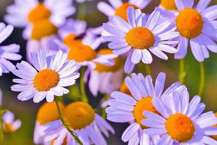 Royalty Free Photo Purple Petaled Yellow Stigma Flowers Pickpik
