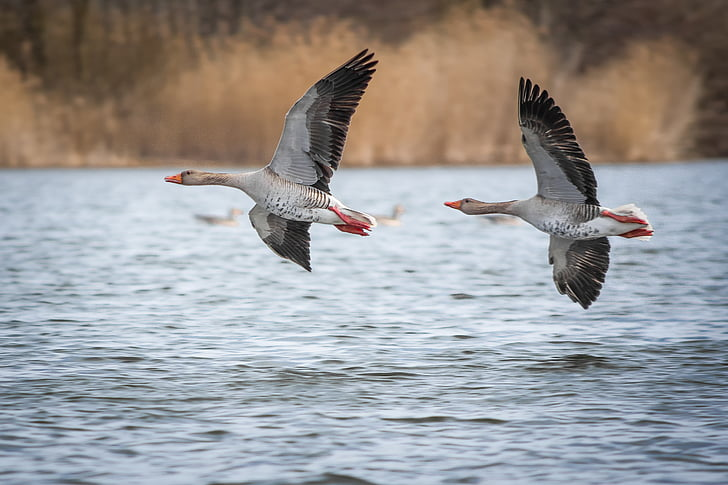 two gray and black flying geese
