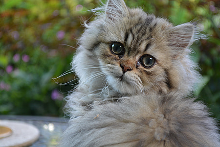 gray main coon cat