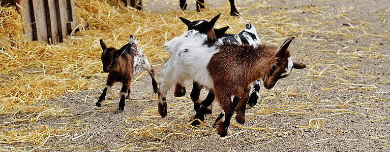 three white and brown kid goats