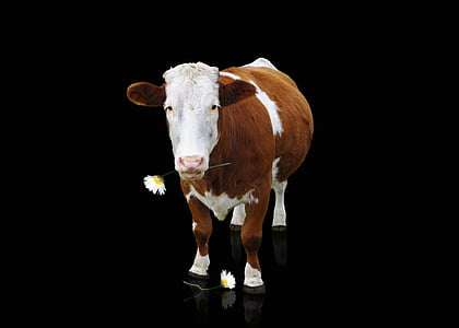 brown and white cow with dark background