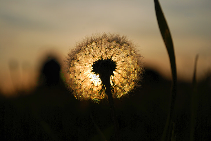 silhouette of dandelion seeds at sunset