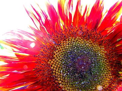 411 Royalty Free Sunflowers Photos Minimum Size 1080p Sorted By Aesthetic Score Pickpik