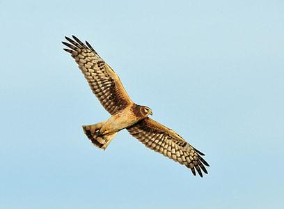 brown hawk flying under clear blue skies