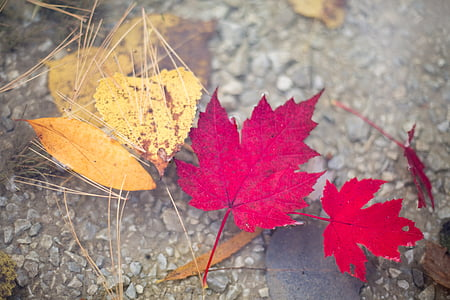 two red maple leaves
