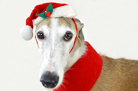 shallow photography of short-coated white and brown dog wearing ed and white Santa hat