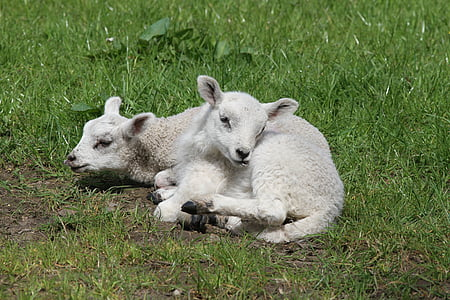 white lambs lying on green grass