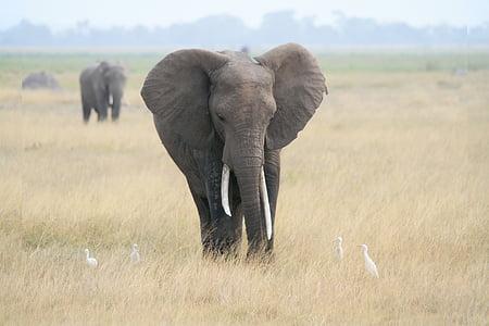 two gray elephants on grass field