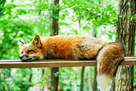 brown fox laying on brown wooden plank during daytime