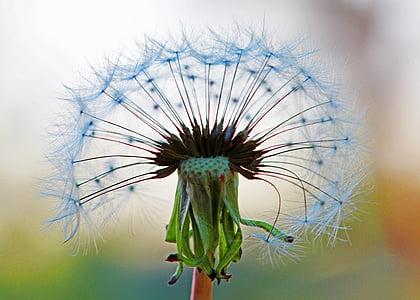 white dandelion flower macro photography