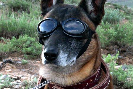 medium short-coated dog wearing goggles