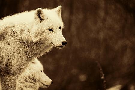 tilt shift lens photography of white wolf