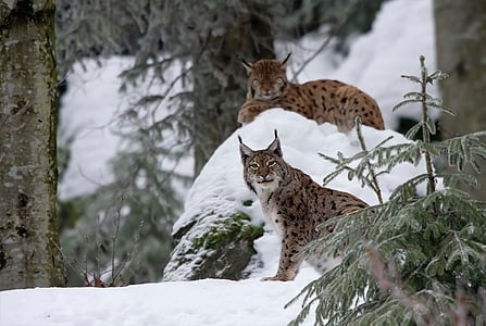 two brown Lynx