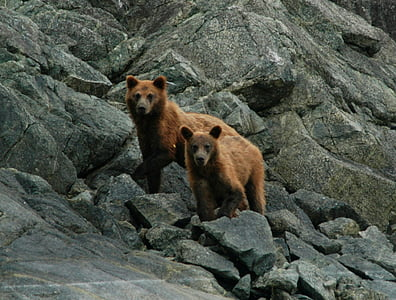 two brown bears stands on grey concrete rocks