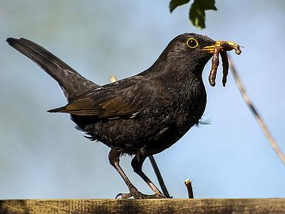 selective focus photography of common blackbird