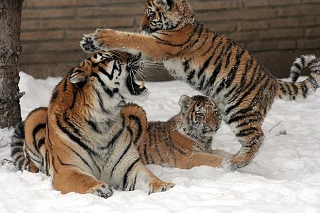 three tigers near brown brick wall