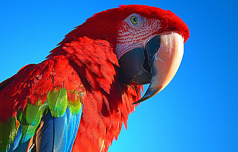 closeup photography of scarlet macaw