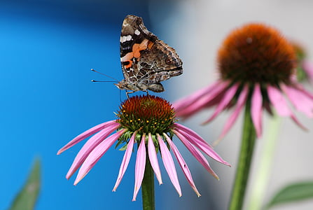 selective focus photography of painted lady butterfly perched on pink petaled flower