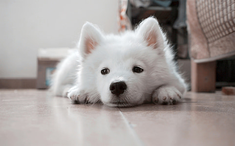 Samoyed puppy laying on ceramic tiles