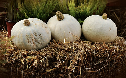 three squash vegetable on hay