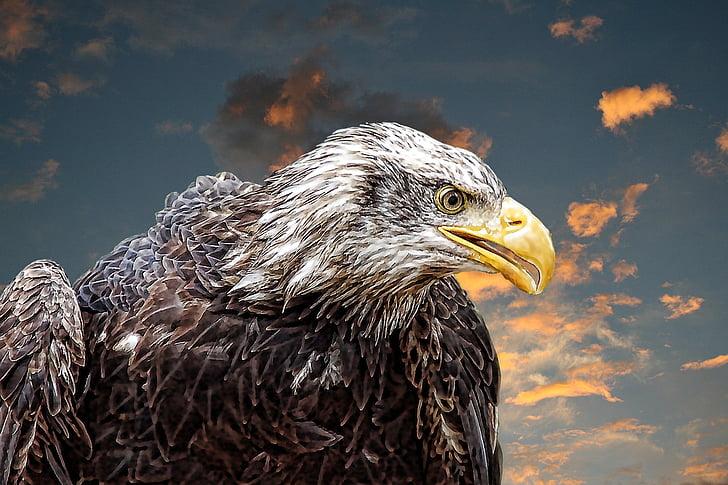 American bald eagle illustration