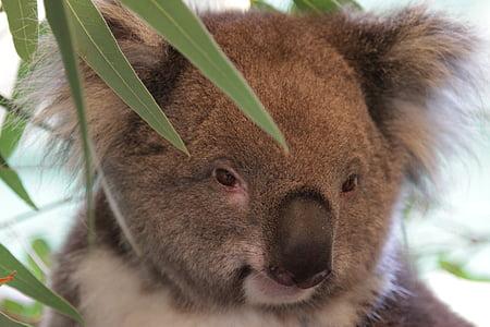 tilt shift lens photography of Koala bear