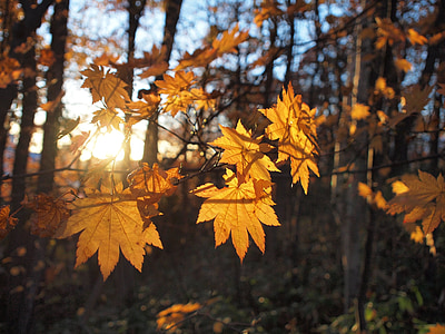 brown maple leaf hit by sun light