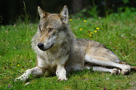 gray and brown wolf on green grass