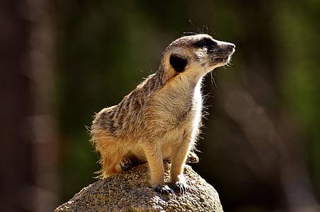 shallow focus photography of meerkat