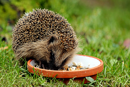 hedgehog on grass field while eating