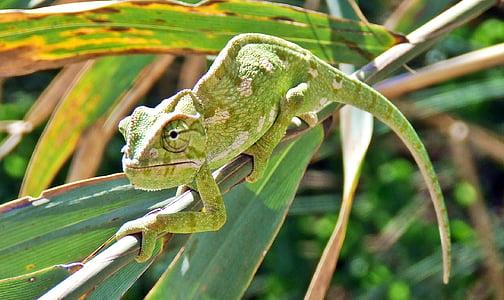 chameleon on tree twig