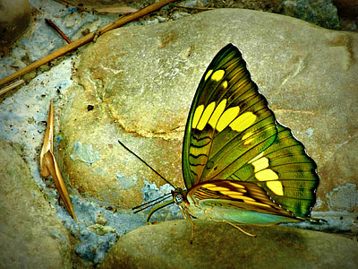 green and yellow butterfly photo
