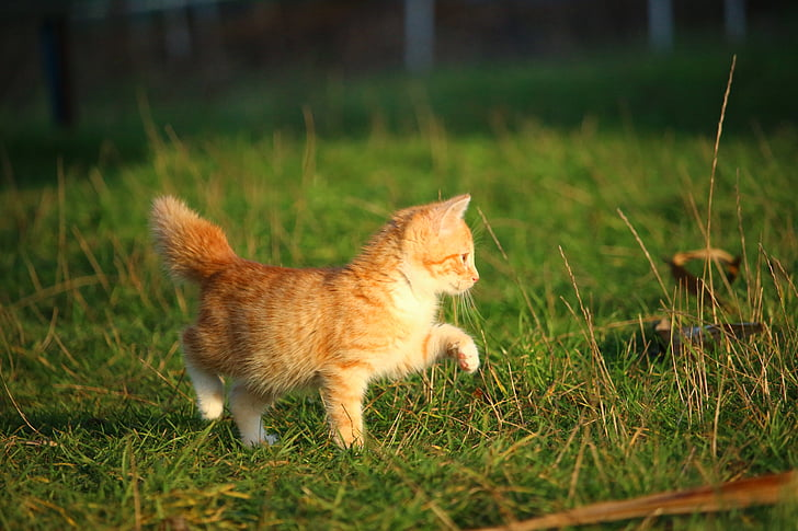 yellow kitten walking on grass