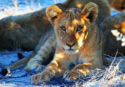 lioness reclining on ground