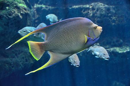 gray and green surgeon fish