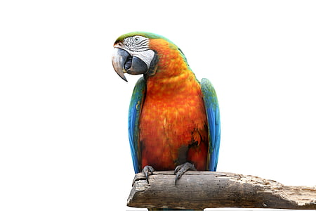orange and blue parrot