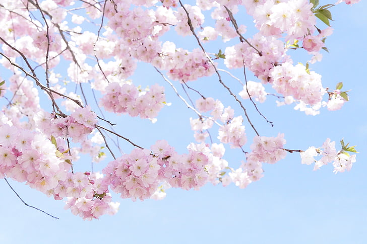 low-angle photography of pink cherry blossoms