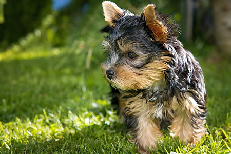 shallow focus photography of black and brown Yorkshire terrier puppy standing on grass lawn during day
