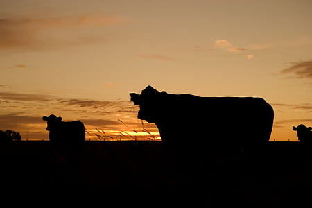 silhouette of cow photo