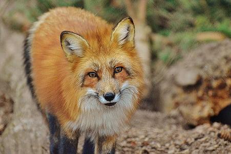 brown fox during daytime