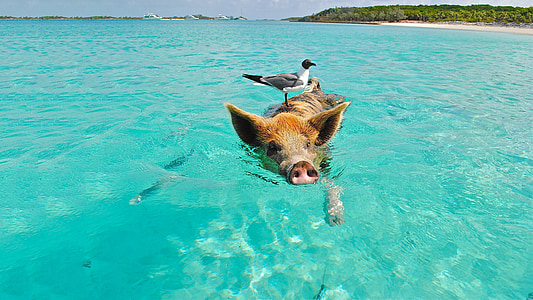 brown pig on body of water