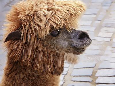 selective focus photo of brown alpaca